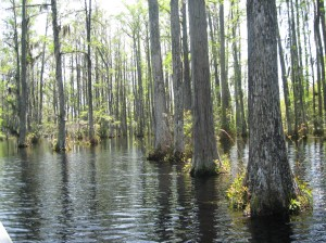 Cypress at the Black Swamp